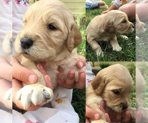 Goldendoodle Puppy for sale in LA CENTER, WA, USA