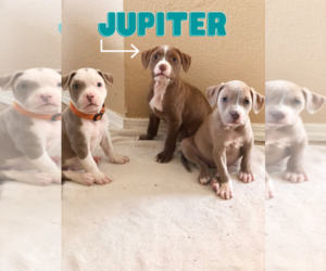 American Pit Bull Terrier Puppy for sale in FORT WORTH, TX, USA