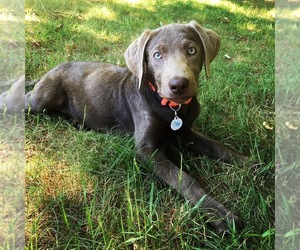 Labrador Retriever Dog for Adoption in MATTAPOISETT, Massachusetts USA