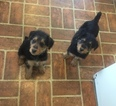2 Female 10 week old hunting stock airedale pups