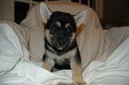German Shepherd Dog-Siberian Husky Mix Puppy For Sale in ANNANDALE, VA, USA