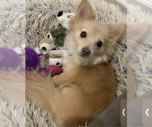 Mother of the Pomeranian puppies born on 10/03/2020