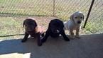 Labrador Retriever Puppy For Sale in HUNTSVILLE, TX, USA