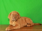 Dogue de Bordeaux Puppy For Sale in SHAWNEE, OK, USA