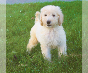 Goldendoodle Puppy for Sale in S HADLEY, Massachusetts USA