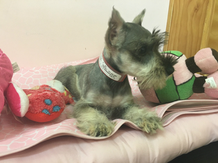 Schnauzer (Miniature) Puppy For Sale in CHICAGO, IL