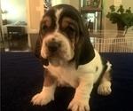 Beautiful Basset Hound Pure breed CKC registered