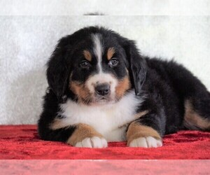 Bernese Mountain Dog Puppies For Sale Near Wilmot Ohio Usa