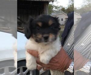 Papastzu Puppy for sale in FRIEND, NE, USA