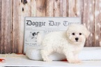 George Fascinating AKC Male Bichon Puppy