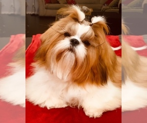 Mother of the Shih Tzu puppies born on 10/08/2020