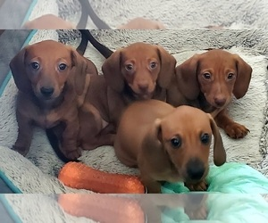 Dachshund Puppy for sale in PALM COAST, FL, USA