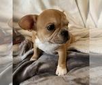Small #12 French Bulldog