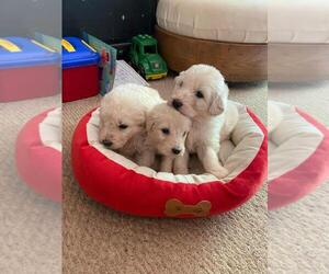Pyredoodle Puppy for Sale in HURT, Virginia USA