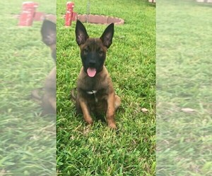 Belgian Malinois Puppy for Sale in PALMHURST, Texas USA