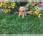 Small #13 Goldendoodle-Poodle (Miniature) Mix