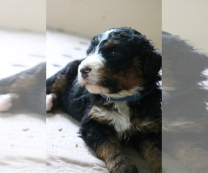 Bernedoodle Puppy for Sale in ANDERSON, South Carolina USA