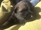German Shepherd Dog Puppy For Sale in MAUMELLE, AR, USA