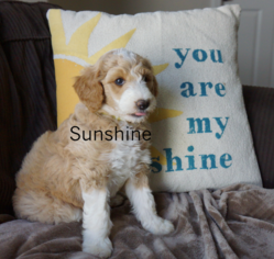 Bordoodle Puppy for sale in CALDWELL, ID, USA