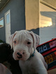 Bullboxer Pit Puppy For Sale in LAS VEGAS, NV, USA