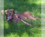 Small #91 Australian Shepherd-Chocolate Labrador retriever Mix