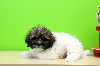 Havashu Puppy For Sale in PORTSMOUTH, OH