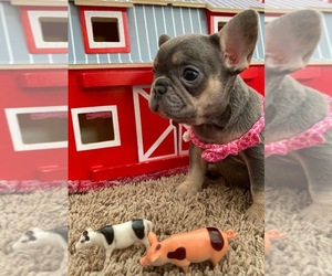 French Bulldog Dog for Adoption in REDMOND, Washington USA