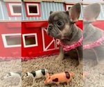 French Bulldog Puppy For Sale in REDMOND, WA, USA