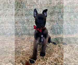 Belgian Malinois Puppy for Sale in BAKERSFIELD, California USA