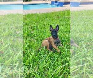 Belgian Malinois Puppy for Sale in PALMHURST, Texas USA