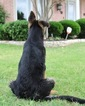German Shepherd Dog Puppy For Sale in ROANOKE, TX, USA