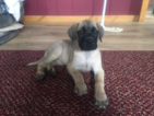 AKC English Mastiff Champion Bloodlines