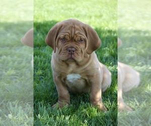 Dogue de Bordeaux Puppy for sale in LA SIERRA, CA, USA