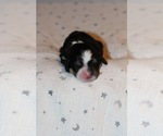Puppy 10 Bernedoodle