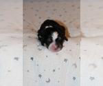 Puppy 10 Bernedoodle