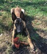 Belgian Malinois Puppy For Sale in SHERRARD, IL,