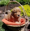 Golden Retriever Puppy For Sale in OWEN, WI, USA