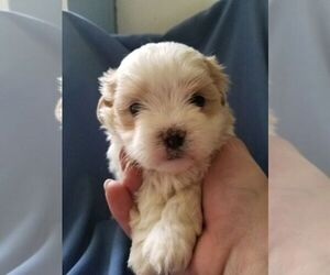 Mal-Shi Puppy for sale in KENDALL, WI, USA