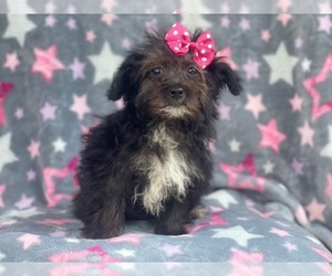 YorkiePoo Puppy for sale in LAKELAND, FL, USA
