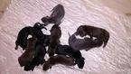 Doberman Pinscher Puppy For Sale in GRAY COURT, SC,