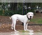 Small #54 Dogo Argentino