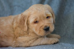 Golden Retriever Puppy For Sale in KENT, OH, USA