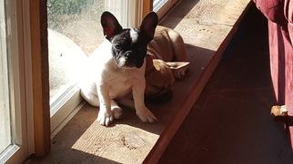French Bulldog Puppy for sale in HILLSBORO, VA, USA