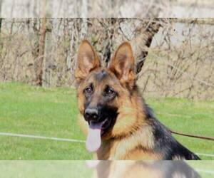 German Shepherd Dog Puppy for sale in Gevgelija, Gevgelija, Macedonia