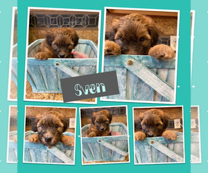 Whoodle Puppy for sale in PEORIA, AZ, USA