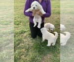 Puppy 1 Great Pyrenees