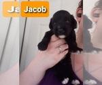 Puppy 1 Saint Berdoodle