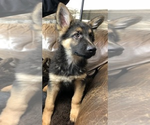 German Shepherd Dog Puppy for sale in FORT MORGAN, CO, USA