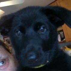 German Shepherd Dog Puppy For Sale in WOODBRIDGE, VA