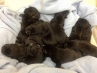 Cane Corso Puppy For Sale in LYNCHBURG, VA